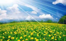 incredible_yellow_flowers_field-wide